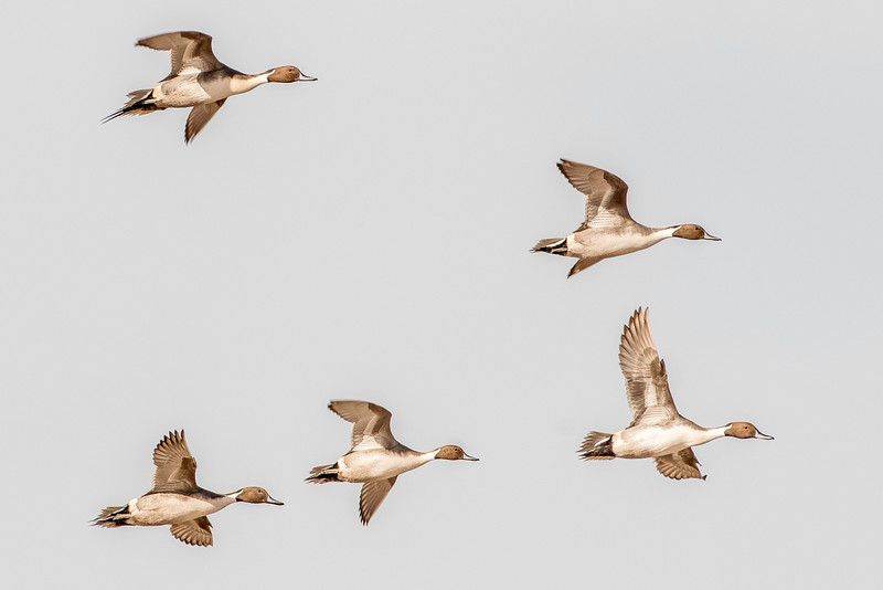 Northern pintail drakes