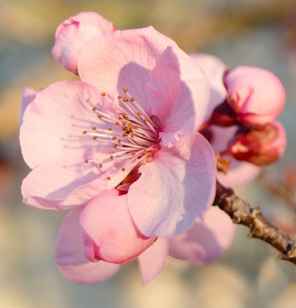 spring blossom.tif