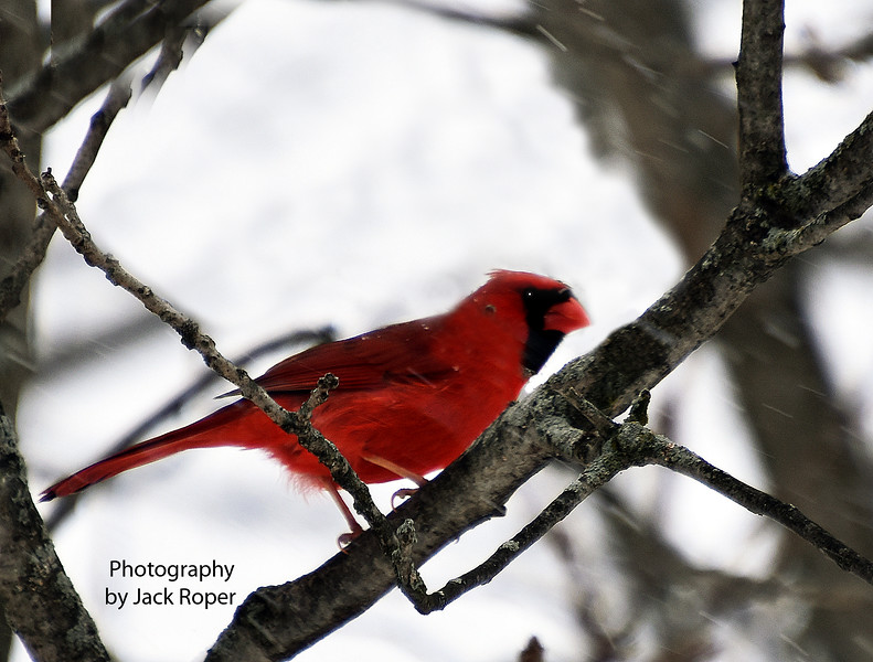 Cardinal male 2173 - Copy.jpg