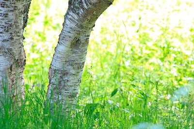 Birch tree on a meadow