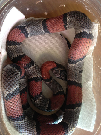 Blairs phase king snake