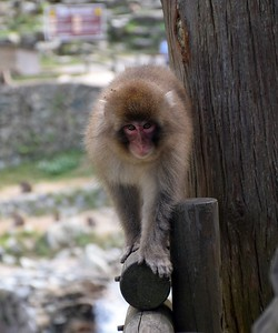 08Oct2018 Jigokudani Monkey Park
