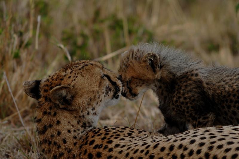 009_6375 Cheetah With Cub.jpg
