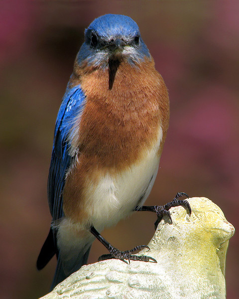 bluebird_3070.jpg