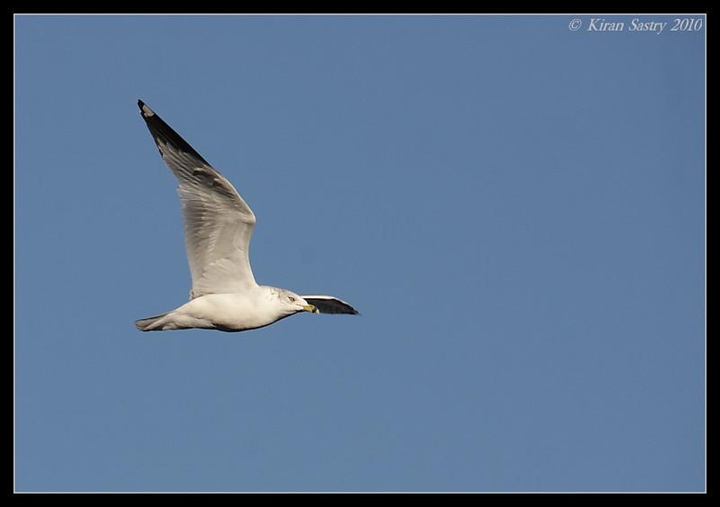 Ring-billed Gull, Bosque Del Apache, Socorro, New Mexico, November 2010