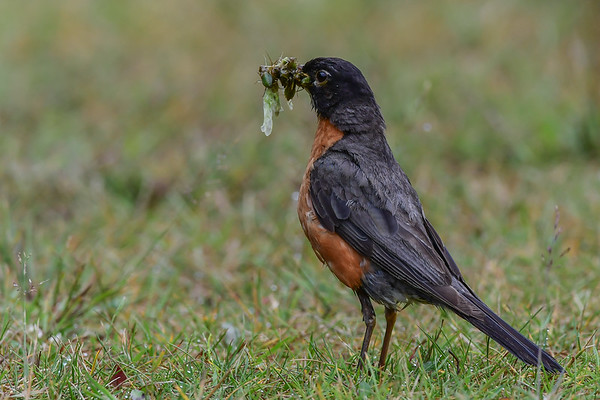 8-2-17 American Robin - Food For Thought