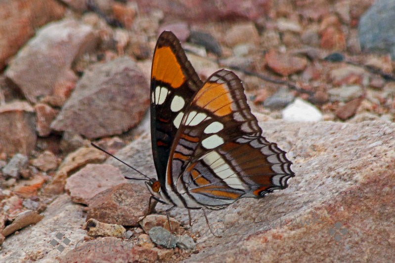 Arizona Sister Butterfly ~ The upper wings of this butterfly looks almost exactly like the California Sister; however the Arizona Sister is slightly larger and has some variations on the underwing pattern. This one was photographed in Miller Canyon in the Huachuca Mountains of southeast Arizona.