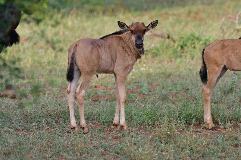 Blue Wildebeest Calf.jpg