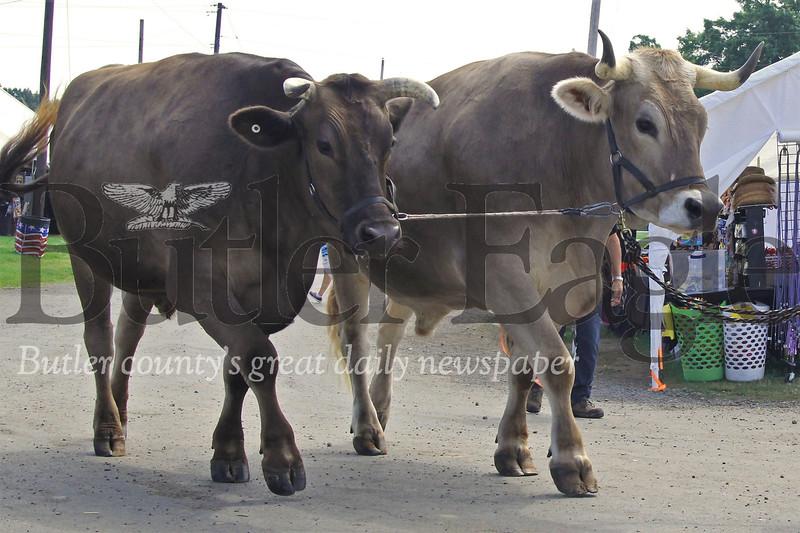A pair of oxen take a stroll through the Butler Fair Saturday. Seb Foltz/Butler Eagle