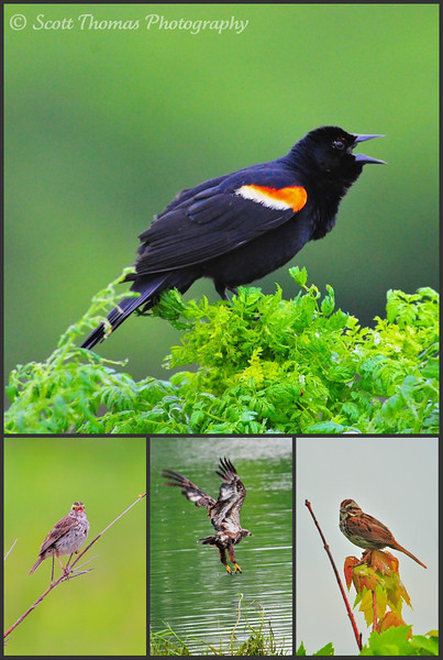 Red-winged Blackbird, Savannah Sparrow, immature Bald Eagle and Song Sparrow in the Montezuma National Wildlife Refuge near Seneca Falls, New York.