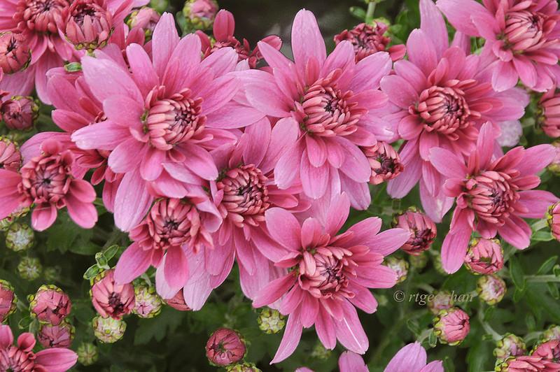 Sept 29_Magenta Chrysanthemums_9450.jpg