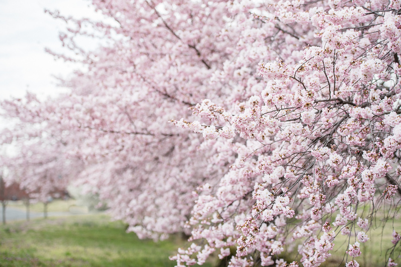 Cherry Blossoms (150 of 182).jpg