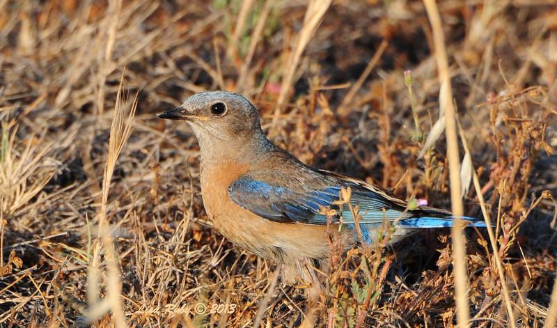 Western Bluebird - 5/19/2013 - Ramona Grasslands