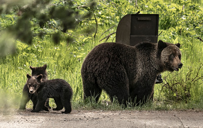 Apollinaris Grizzly & Cubs