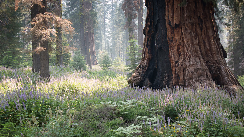 lupine-and-sequoia.jpg