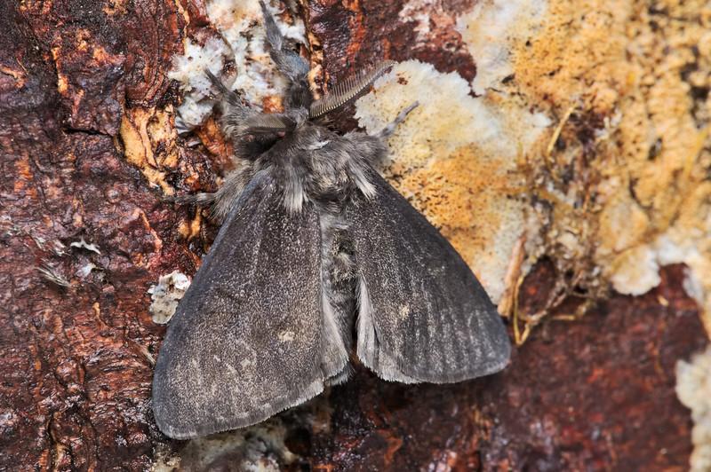 Dasychira grisefacta Moth