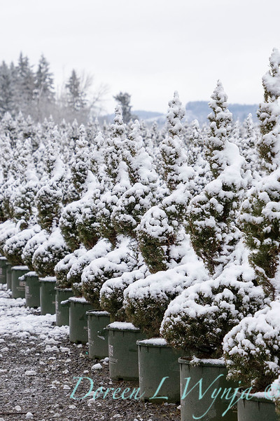 Picea glauca 'Conica' spirals - can yard in snow_4121.jpg