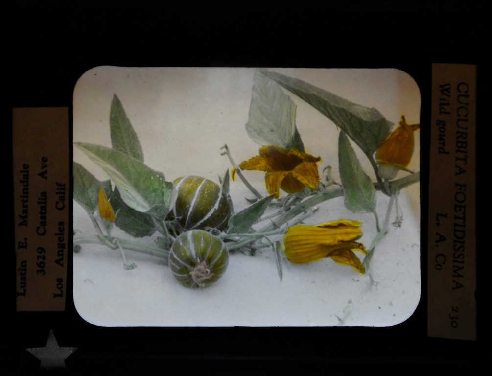 ". This hand-painted glass slide by Lustin Martindale shows a coyote melon.""When they were wild,\"" is the Huntington Library\'s new Wildflower exhibition which kicks off a month of talks, workshops and wildflower sales. San Marino, CA 3/8/2013(John McCoy/Staff Photographer)"