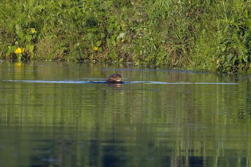 Giant Otter (1) at Cocha Blanco near Manu Wildlife Center, Peru (2008-07-10).psd