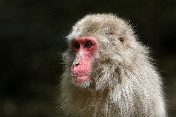 Japanese Monkeys at Mount Iwatayama