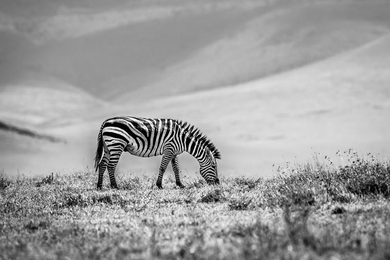 Zebra B&W.jpg