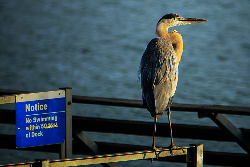 8.13.18 - Prairie Creek Marina: Great Blue Heron