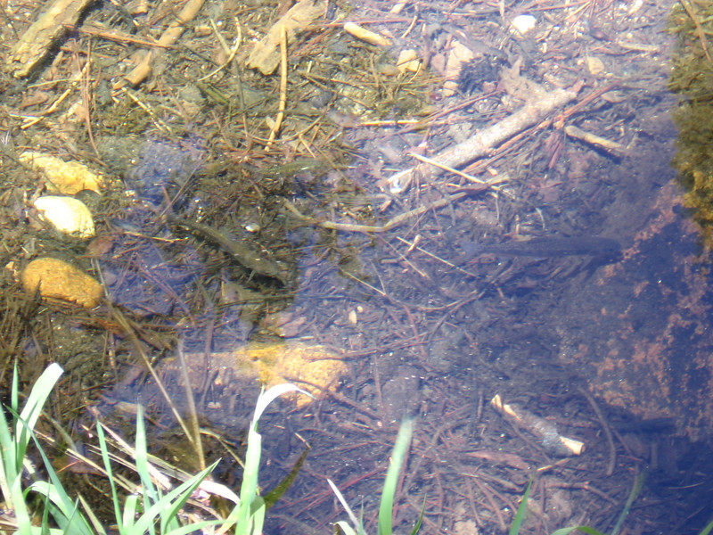 Trout in shallows of Sunrise Creek.