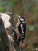 Great Spotted Woodpecker Feeding
