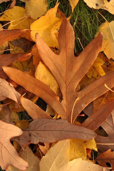 autumnal leaves 2013 009.JPG