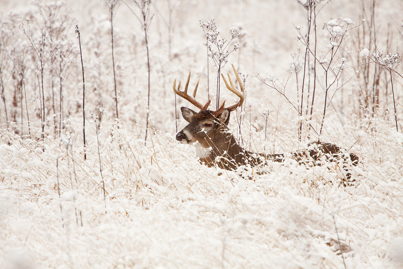 White-tailed buck in snow covered grasses.