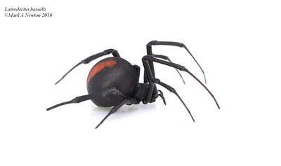 Latrodectus hasselti (Redback Spider)