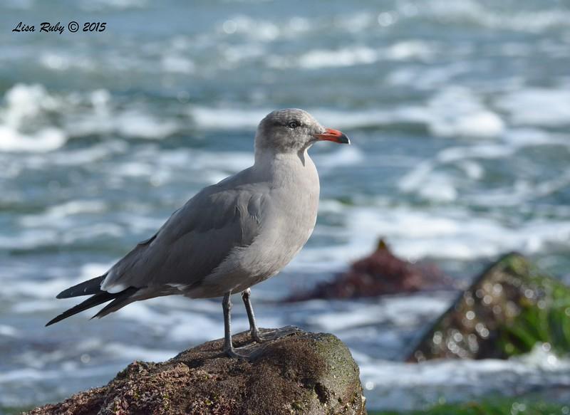 Heerman's Gull  - 1/8/2016 - La Jolla Cove