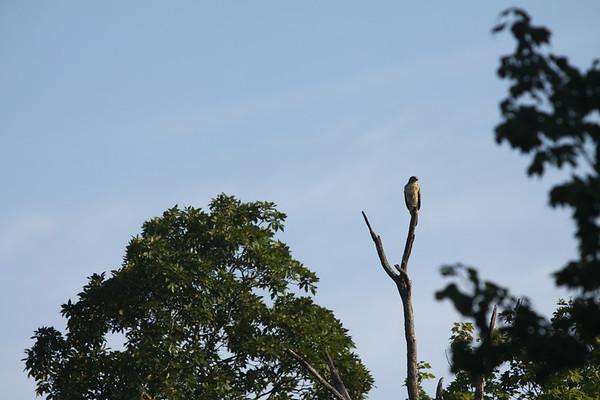 08-21-17 Hawk
