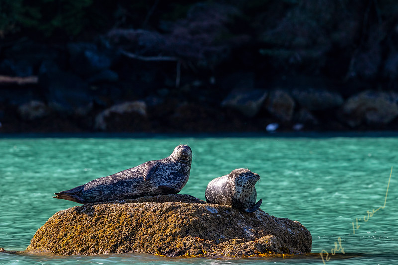 Two harbour seals resting on a rock along the shoreline in Knight Inlet, First Nations Territory, Great Bear Rainforest, British Columbia, Canada.