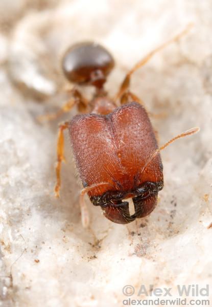 Pheidole tepicana supermajor.  Arizona, USA