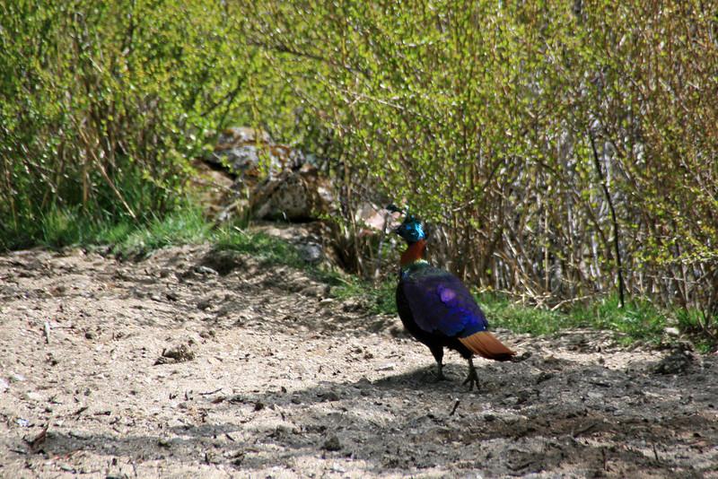 Impeyan Pheasant