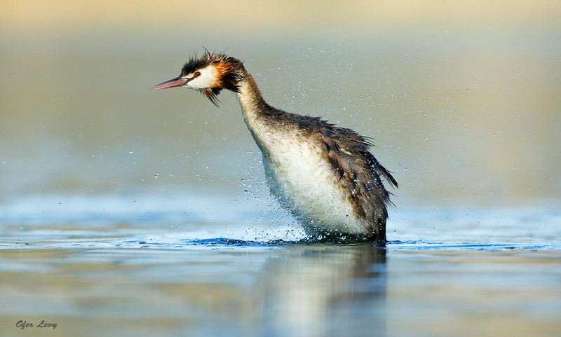 Great-crested Grebe 5.jpg