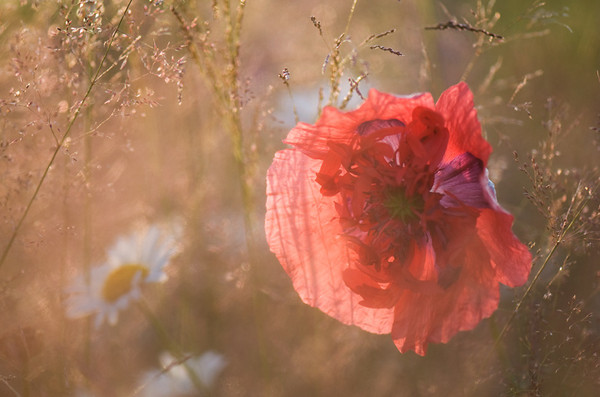 evening-poppy.jpg