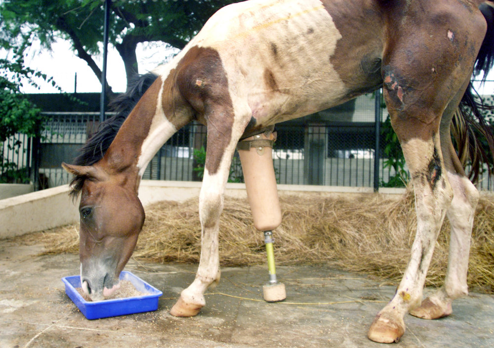 "Description of . Indian horse nicknamed ""Macho\"", fitted with an artificial leg, enjoys a meal in Bombay on June 26, 2003. Doctors amputated the horse\'s front right leg and gave him a plaster of Paris prosthetic earlier this month after an animal welfare group found him on a highway bleeding from a leg wound.  REUTERS/Roy Madhur"