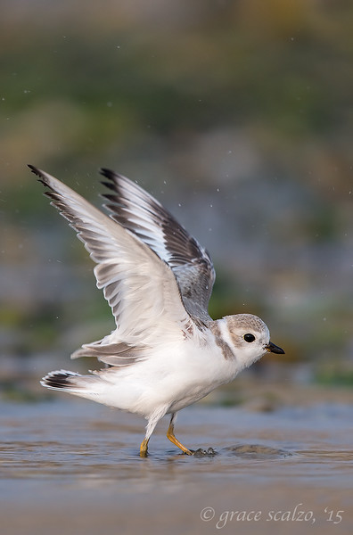 Piping Plover Fledgling after bath leap