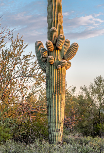 Saguaro With Budding Arms #1