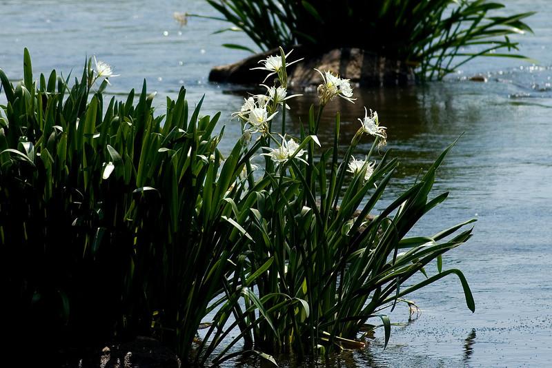 lilies 2.jpg