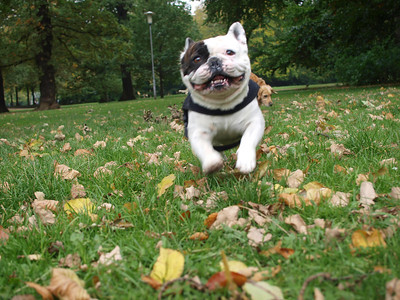 Our French Bulldog Gimli - Deseased. Nine years and ten months on 27 Februar 2016 at 09.15 - R.I.P