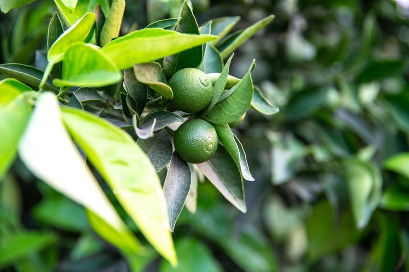 Mandarins (C1) in field in July