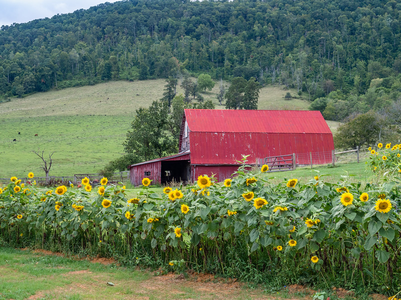 03 Aug 25 Barns and sunflowers x-1.jpg