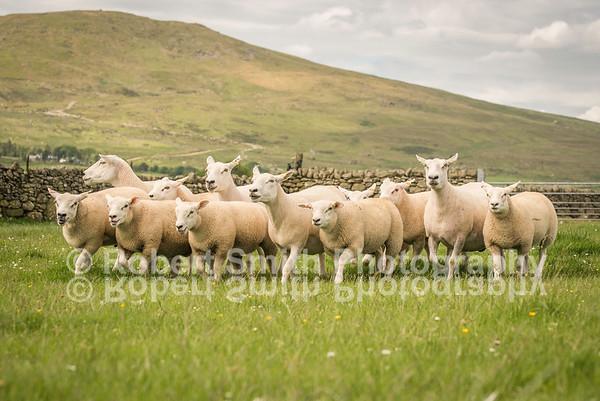 Lleyn Sheep Society Promotional Photographs