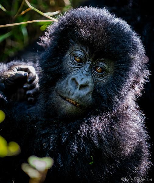 Mountain Gorillas - Uganda