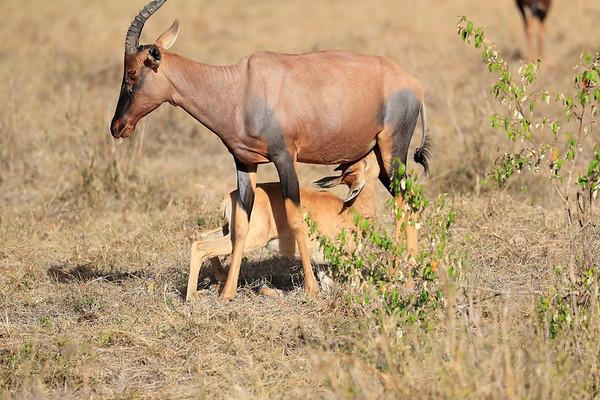 Topi Mara North Kenya 2017