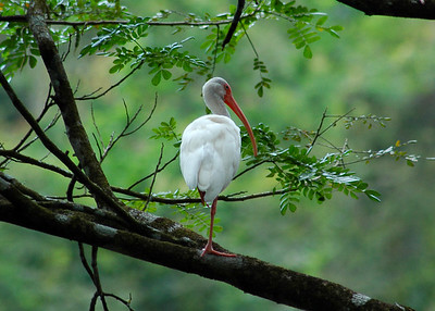 The lovely Ibis adorns every tree limb on which it perches - Costa Rica  ©Gerald Diamond All rights reserved