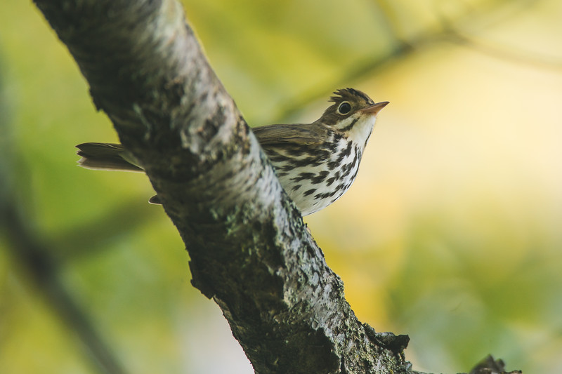 An Ovenbird at the Celery Bog in West Lafayette, Indiana